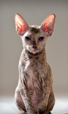 Peterbald Cat. Similar to the sphynx cats we used to own, but with more of a coat and less oil to deal with.
