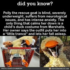 "Polly the rescue goat is blind, severely underweight, suffers from neurological issues, and has intense anxiety. The only thing that calms her down is a child's duck costume from Marshalls. Her owner says the outfit puts her into a ""little trance""..."
