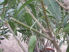 Leander metszése | Nőknek kertről. Plants, Tea, Plant, Teas, Planets