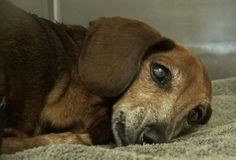 She won't be up for adoption until June, SHARE this photo--especially if you live in CALIFORNIA.*** Heartbroken and scared, Dachshund barely moves in shelter kennel Animal Shelter, Animal Rescue, Stop Animal Cruelty, Save Animals, 12 Year Old, Rescue Dogs, Dachshund, Pet Adoption, Dog Cat