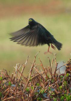 Blackbird during take-off:)