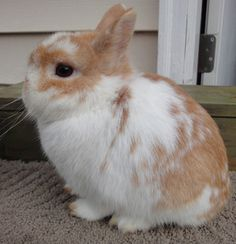 Broken Orange Netherland Dwarf buck - He looks like my Coco!