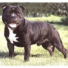 Staffordshire Bull Terrier Puppies For Sale Puppy Breed Info Dog Breeds Staffordshire Bull Terrier Puppies Staffordshire Bull Terrier