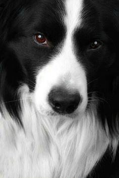 Australian Border Collie - gorgeous face & nature by viana_ar_v
