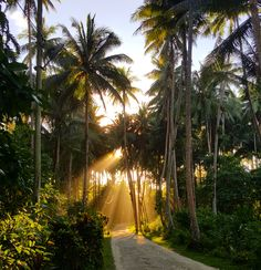 Sunlight through the coconut trees New Ireland Province PNG [OC] [2675x2981]