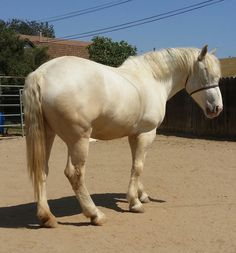The RARE and ENDANGERED - American Cream Draft Horse.  LOLA 2016