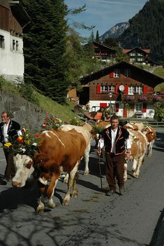 Lauterbrunnen-Day 4 003    Cows were decorated with flowers and each proudly wore her bell. Men and women came in their traditional dress.