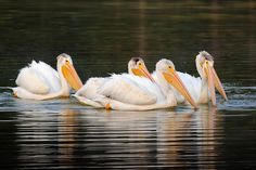 Gathering Of Fishermen ~ photo, group, White Pelican Yellowstone National park print, lake, reflection, bird, nature, travel by DajDesigns on Etsy