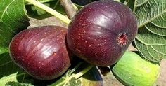 The Brown Turkey Fig Tree produces one of the sweetest figs out there. Enjoy fresh brown sugar sweet fruit right off your very own Fig Tree. Order from our online garden center for doorstep delivery!