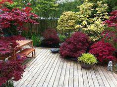 plantas de sombra el arce japones apra la  terraza y plantas de sombra en macetas ideas