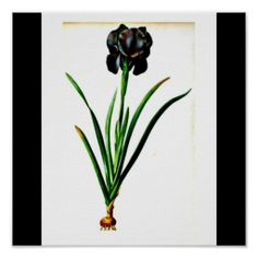 Poster-Botanicals-Pierre Joseph Redoute 19