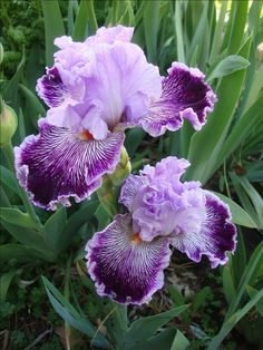 Elegant Purple Orchid Bearded Dutch Iris Roots/Bulbs Garden Plants Multiply Rapidly Home Balcony Bonsai Bulbs) Garden Bulbs, Planting Bulbs, Garden Plants, Planting Flowers, Balcony Plants, Flowers Garden, Exotic Flowers, Amazing Flowers, Beautiful Flowers
