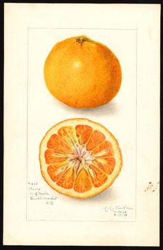 Artist: Newton, Amanda Almira, ca. 1860-1943 Scientific name: Citrus nobilis Common name: tangors Variety: King Geographic origin: Washington, D.C., United States Physical description: 1 art original : col. ; 17 x 25 cm. Specimen: 40824a Year: 1908 Date created: 1908-04-17