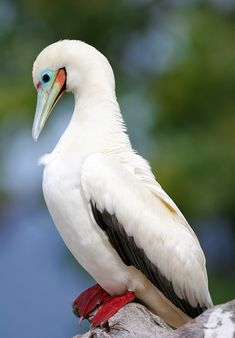 http://2.bp.blogspot.com/-G26SyIig9EY/UUrYADshCWI/AAAAAAAAA3M/lw5PGU7cUMQ/s1600/red_footed_booby02.jpg  The red-footed booby is a large seabird of the booby family, Sulidae. As suggested by the name, adults always have red feet, but the colour of the plumage varies. They are powerful and agile fliers, but they are clumsy in takeoffs and landings. Wikipedia  Scientific name:  Sula sula Higher classification: Booby