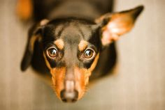 I know that look well. Dachshund adores you.