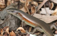 Many-lined Sun Skink   Flickr - Photo Sharing!