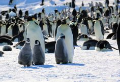 Three emperor penguin chicks stand in front of a pair of adult penguins on the sea ice Sea Ice, Emperor Penguin, Penguins, Animals, Animales, Animaux, Penguin, Animal, Animais