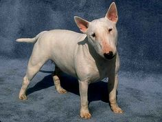bull terrier dogs - Yahoo Image Search Results