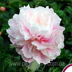 Пионы травянистые Zhong Sheng Fen - Original Pink