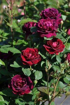 'Souvenir du Docteur Jamain ' Rose Photo, shows the reds and purples, needs some shade for true color??