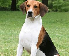 harrier dog photo | Harrier|Dogs|Puppies|Dog Breeds|Pets|Dog Pictures