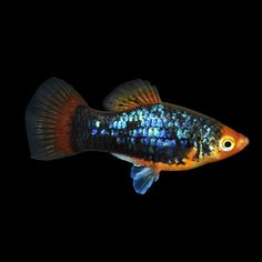 Assorted male fancy guppies guppy aquarium fish and for Large peaceful community fish