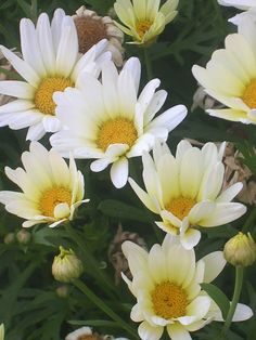 There is beauty in simplicity...I have a long of Shasta Daisys. Summer Days!