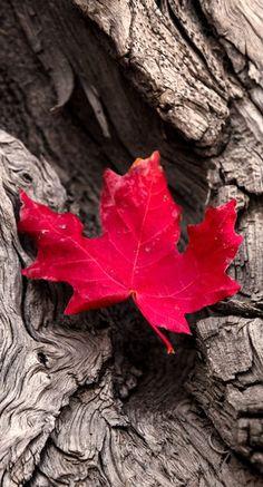red leaf....