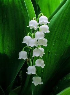 Lily of the Valley. lily of the valley (convallaria majalis). Month Flowers, Beautiful Flowers, Spring Flowers, Wild Flowers, Lilies Flowers, Lily Of The Valley Flowers, Image Nature, White Lilies, Flower Aesthetic