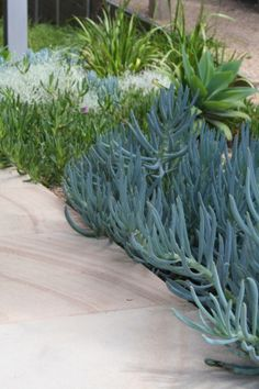 Sandstone paving slabs with drought tolerant plantings of coastal natives and exotic succulents. Sorrento House. www.marktraversla.com Pool Paving, Pool Landscaping, Sandstone Paving Slabs, Paving Ideas, Outdoor Dining, Dining Area, Covered Garden, Drought Tolerant Plants, Succulents Garden
