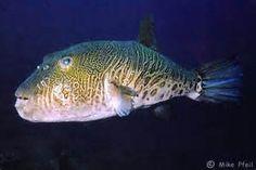 ferocious pufferfish - Bing images