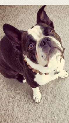 Tucker- Boston Bulldog cuteness!!