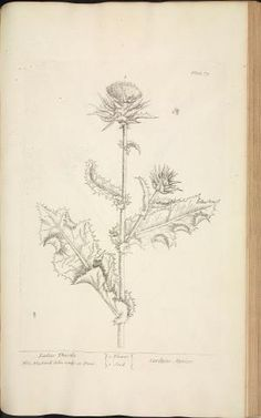 Image of a Ladies Thistle from A Curious Herbal, published between 1737 and 1739. Elizabeth Blackwell, famed Scottish botanical illustrator, did the artwork and engravings. The book was designed as a reference work on medicinal plants for the use of physicians and apothecaries.