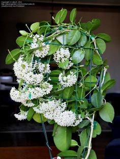 You Need Gardening Insurance For Anyone Who Is A Managing A Gardening Organization Hoya Plants Look Beautiful Hanging In Front Of A Bright Window. The most effective method to Grow Care Guide For A Hoya Plant: Wax Flowers, White Flowers, Beautiful Flowers, Tropical Garden, Tropical Plants, Outdoor Plants, Garden Plants, Agave Attenuata, Plants Under Trees