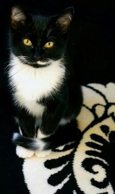 Tuxedo cat is not a breed of cats, named as tuxedo cat because of the black and white coat pattern fur that resembles tux. Cute Cats And Kittens, I Love Cats, Crazy Cats, Cool Cats, Kittens Cutest, Ragdoll Kittens, Bengal Cats, Pretty Cats, Crazy Cat Lady