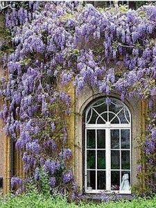Todo sobre las Glicinas (I): Características, clima, suelo, riego   Diseño Jardin, Flores, Plantas   Flor de Planta