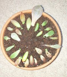 Succulents will root without any human intervention/interference whatsoever.  Most will sprout roots and form new plants wherever they fall, be it the patio floor...