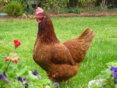 Ideal Breeds for Backyard Chickens- something to possibly consider in the future...