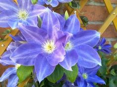 According to Raymond Evison, this was named for Lady Rowlands, the wife of the Bailiff of Guernsey, where Mr. Evison operates his nursery. The rounded flowers of Clematis DIANA'S DELIGHT ('Evipo026') are medium violet blue maturing to blue. This is one of a series of compact, long-blooming clematis.