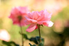 Pink Rose in Summer Rose Garden - Flower Photo by MermaidSightings, $7.00