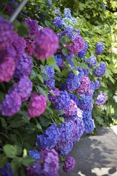 pink and blue hydrangeas.......hydrangeas planted in with elemental sulfur or aluminum sulfate to make the bracts turn blue and the opposite with lime or gypsum to make them turn pink.