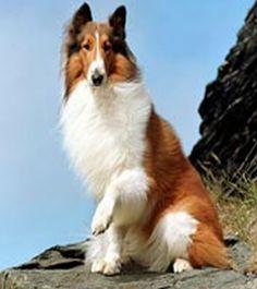 Resultados de la Búsqueda de imágenes de Google de http://mascotass.com/wp-content/uploads/2010/02/razas-perros-collie.jpg