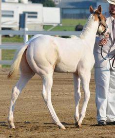 Double L Acres' DC Legacy, APHA/AQHA Halter Horse