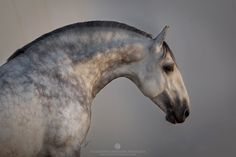 Equine Photography by Katarzyna Okrzesik-Mikołajek Dapple Grey Horses, Percheron Horses, Andalusian Horse, Most Beautiful Horses, All The Pretty Horses, Animals Beautiful, Equine Photography, Animal Photography, Zebras