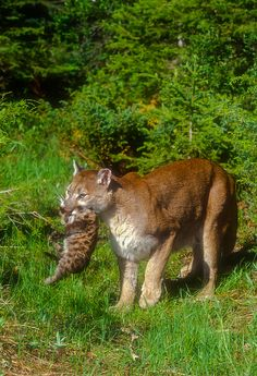 Mountain Lion with cub | Flickr - Photo Sharing!