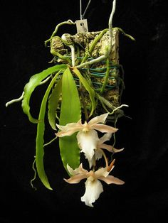 Euryangis Galeankotsch, hybrid parentage Eurychone galeandrae x Aerangis kotschyana
