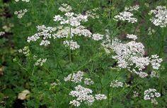 Pimpinella anisum - anis