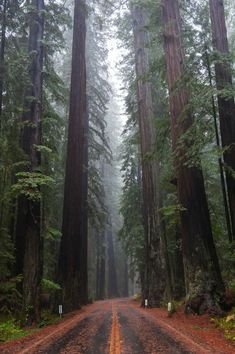 Redwood forests, California, USA.