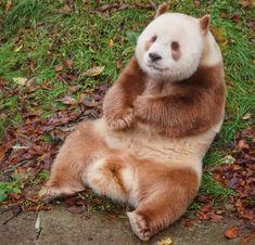Qizai, el único oso panda marrón del mundo, busca compañía                                                                                                                                                                                 Mais Panda Bebe, Cute Panda, Animals And Pets, Baby Animals, Cute Animals, Wild Animals, Wild Animal Rescue, Brown Panda, Panda Decorations