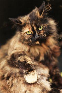 Pretty Cats, Beautiful Cats, Animals Beautiful, Cute Animals, Kittens Cutest, Cats And Kittens, Cute Cats, Gato Calico, Calico Cats